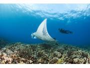 USA, Hawaii Islands, Reef Manta Ray (Manta Alfredi) Cruises Over Shallows Off Ukumehame; Maui Poster Print (18 x 12) 9SIA1S74J56245
