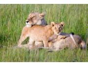 Pride of a Lioness Poster Print by Susann Parker (20 x 28)