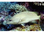 Slender grouper (Anyperodon leucogrammicus) Papua New Guinea Poster Print by VWPicsStocktrek Images (17 x 11)