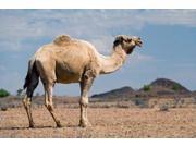 Camel near Stuart Highway, Outback, Northern Territory, Australia Print by David Wall (36 x 24)
