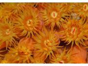 Close-up of orange cup coral in the Caribbean Poster Print by Karen DoodyStocktrek Images (17 x 11) 9SIA1S76KZ6472