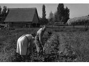 Couple digging their sweet potatoes in the fall Irrigon Morrow County Oregon Poster Print by Dorothea Lange (18 x 24) 9SIA1S76N42931