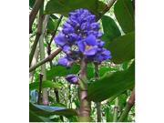 Yellow Plumeria Cutting, Green Ti Log (2), Blue Ginger Root, Combo Value Pack # 28348
