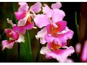 Red Ti Log (2), Red Ginger Root, Vanda Orchid Miss Joaquim Starter Plant, Combo Value Pack # 53698