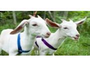 Two Goats Photo License Plate