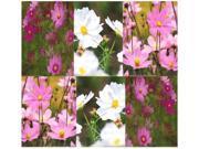 The Dirty Gardener Heirloom Cosmos Bipinnatus Sensation Flower Mix - 32,000 Seeds/8 Ounces 9SIAAS643K2271