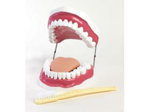 American Educational 7-1420 Oral Hygiene Model - with Key