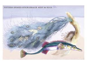 Buyenlarge 09287-4P2030 Fifteen Spined Stickleback Nest and Eggs 20x30 poster
