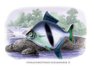 Buyenlarge 08982-2P2030 Tetragonopterus Schomburgk II 20x30 poster