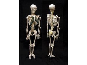 Ginsberg Scientific 7-1413 Skeleton Model With Nerves  - 34 Inch