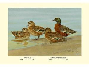 Buyenlarge 08665-3P2030 Gray Teal and Chestnut-Breasted Teal 20x30 poster