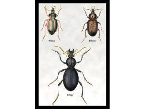 Buyenlarge 15392-xP2030 Beetles of Senegal, Britain and France NO.1 20x30 poster