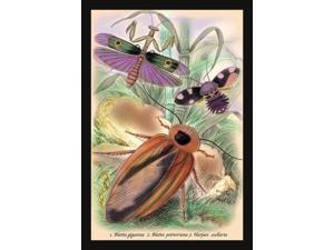 Buyenlarge 15070-xP2030 Insects - Blatta Gigantea, B. Petiveriana and Harpax Ocellaria 20x30 poster