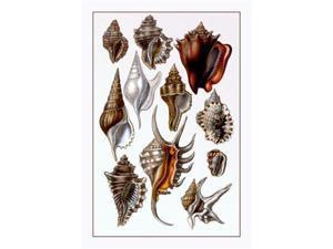 Shells: Trachelipoda No.5 24x36 Giclee