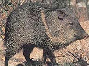 Delta Sports Products #115 Javelina Target