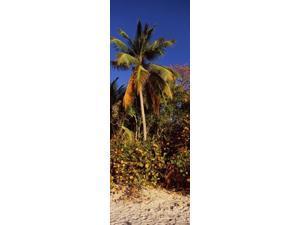 Trees on the beach, Cinnamon Bay, Virgin Islands National Park, St. John, US Virgin Islands Poster Print (18 x 7)
