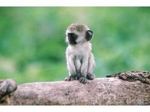 Tanzania, Ngorogoro Crate, Wild vervet monkey baby Poster Print by Jaynes Gallery (35 x 24)