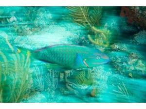 Stoplight Parrotfish, Virgin Gorda Island, British Virgin Islands, Caribbean Print by Stuart Westmorland (24 x 15)