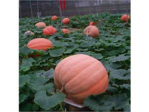 12 Seeds of Special Vegetable Seeds the Giant Pumpkin Seeds Extra Large Pumpkin Seeds Huge Pumpkins