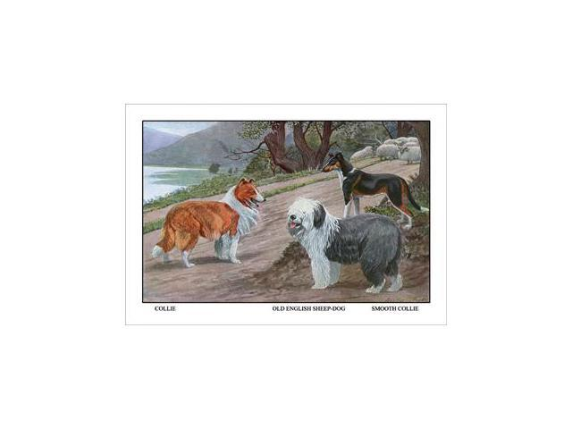 Buy Enlarge 0-587-11830-xP12x18 Collie, Old English Sheep Dog, Smooth Collie- Paper Size P12x18